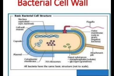 CELL ORGANELLES: THE CELL WALL