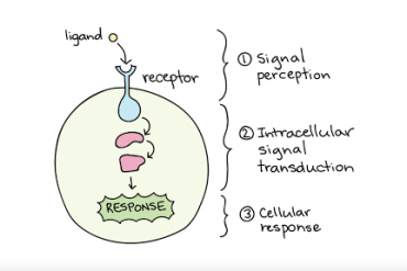 CELL ORGANELLES: THE RIBOSOME