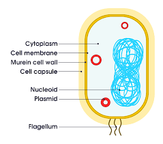 CELL ORGANELLES: CELL MEMBRANE